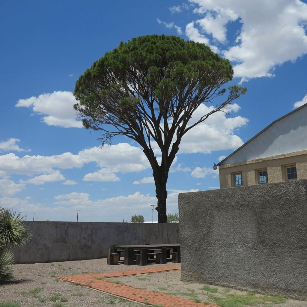 Italian stone pine, view from courtyard.
