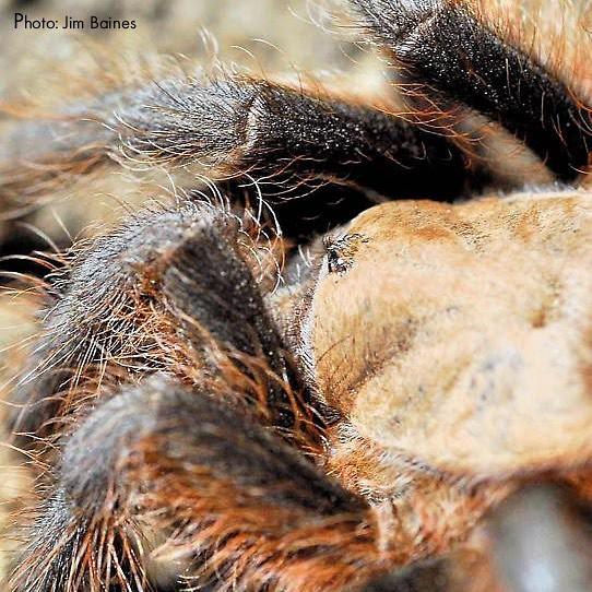 Texas brown tarantula close up.