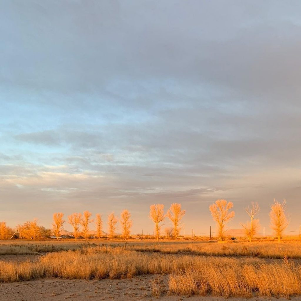 Eastern cottonwoods, fall.