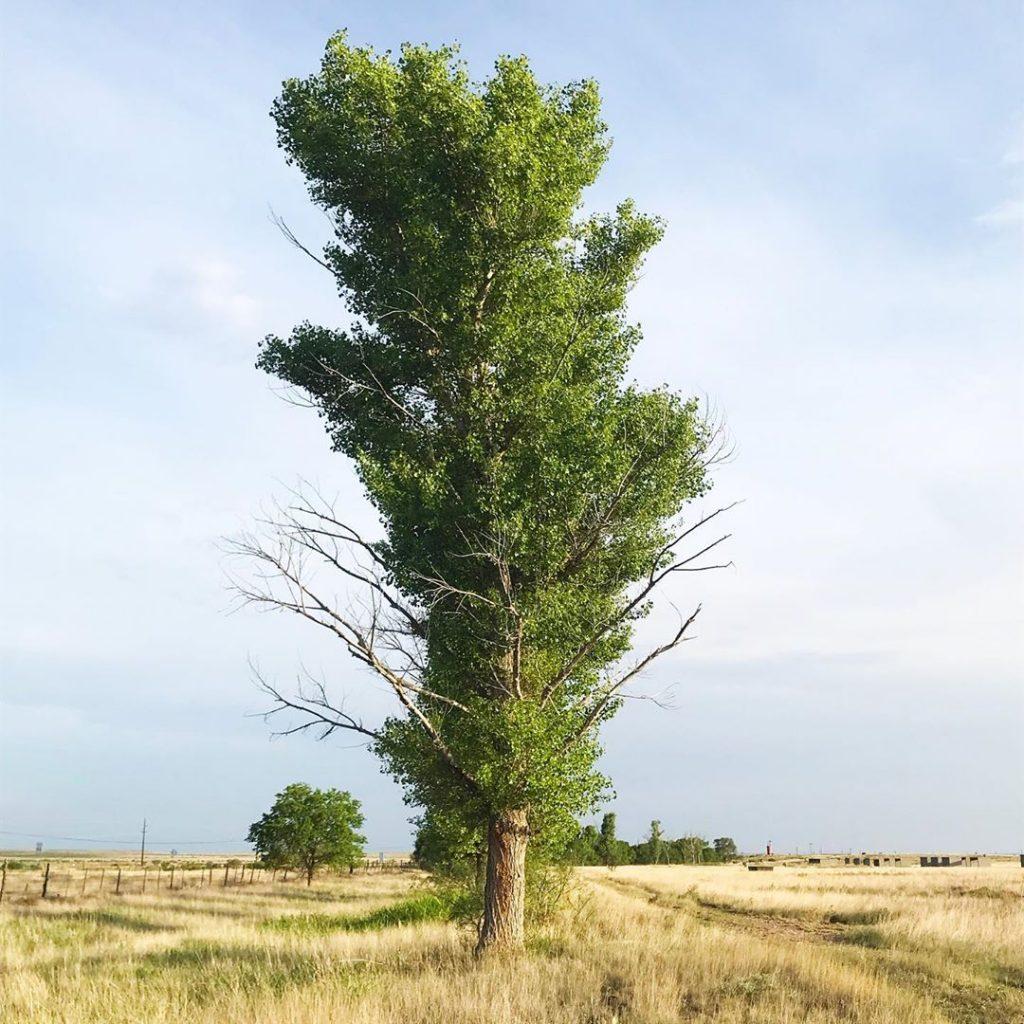 Eastern cottonwoods.