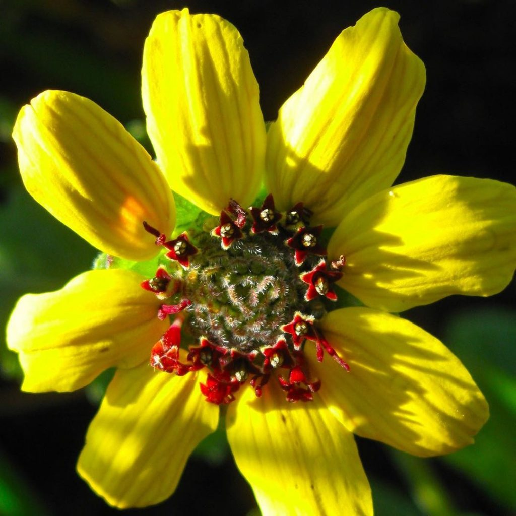 Chocolate daisy close-up.