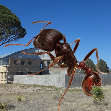 Texas sized harvester ant.