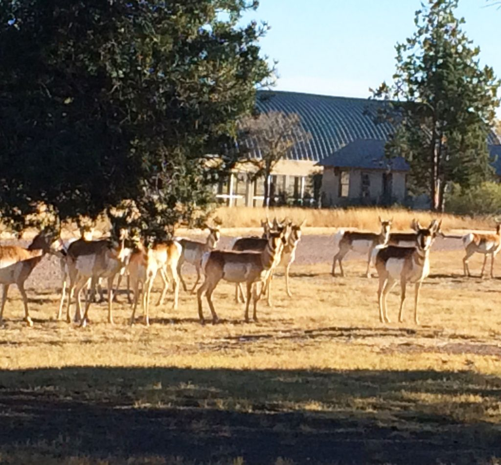 Pronghorn herd on Chinati grounds.
