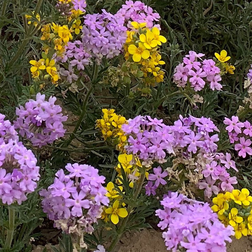 Prairie verbena close-up.