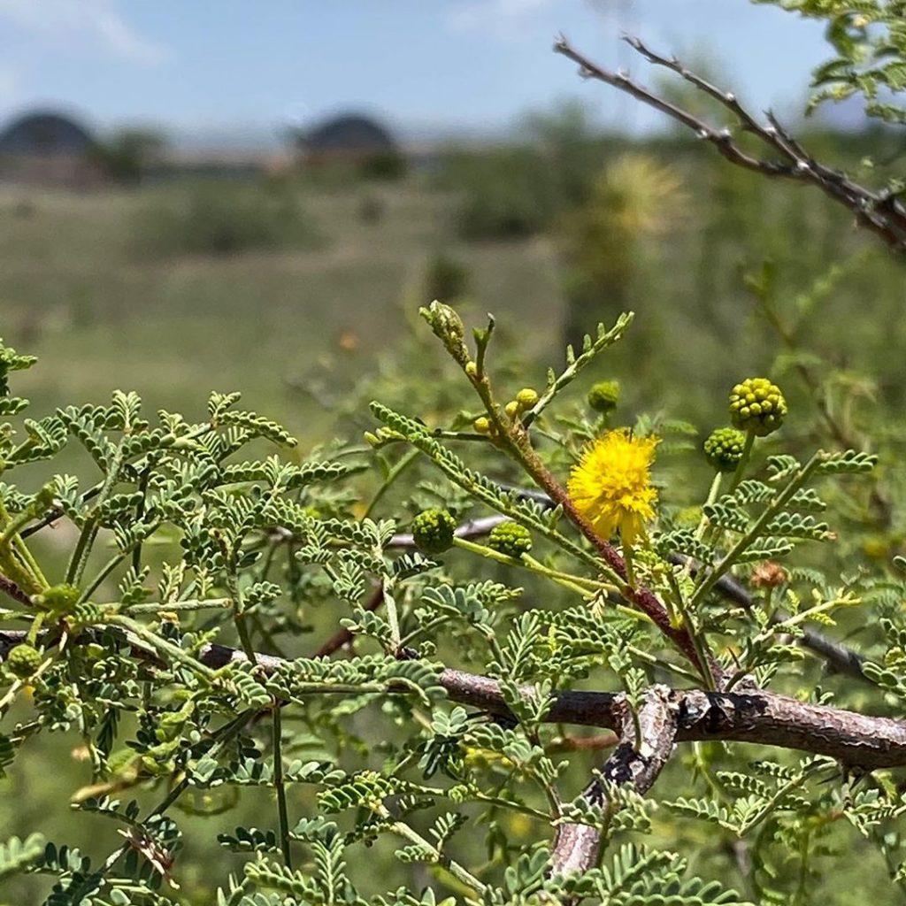 Whitethorn acacia close-up.